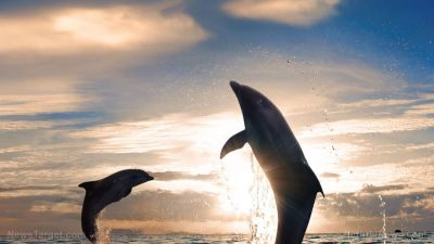 Man-made ocean pollution has severely affected the immune systems of wild dolphins, researchers claim