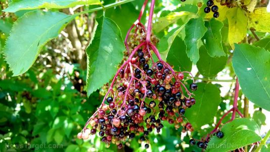 Prepping basics: DIY Elderberry remedies that can help prevent colds or the flu