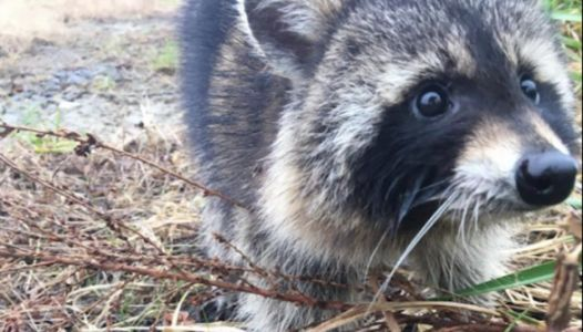 Police Had To Lock Up Drunk Raccoons Until They Sobered Up
