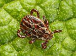 Ticks could be key to treating a heart condition