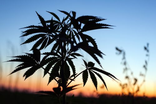 AHPA recommendation to keep CBD off drug lists could help clarify cannabis picture