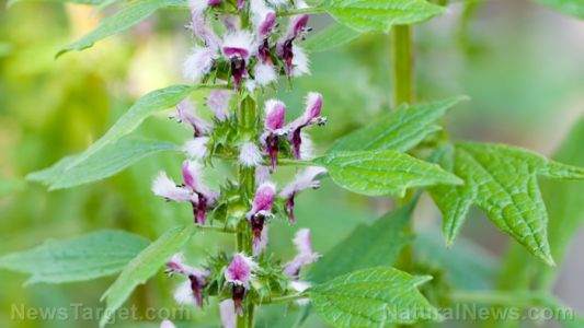 Researchers look at the potential of motherwort as a functional food for menopausal women