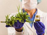 Cannabis may boost the immune system and fight cancer scientists say