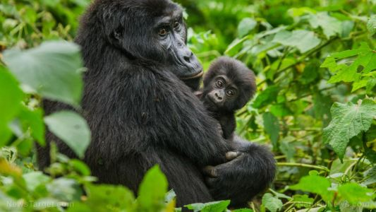 "Shameless vaccine promoters now using zoo animals for propaganda: Baby gorilla ""gets his flu shot"""
