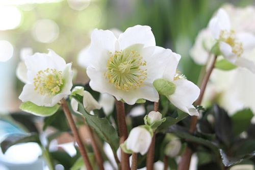 Scientists explore the ability of Christmas rose to inhibit tumor cells