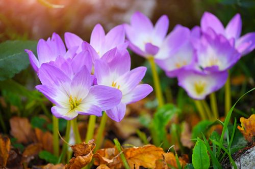 Evaluation of Colchicum autumnalis as a natural treatment for low back pain