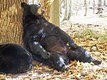Could hibernation treat obesity? Obese people share similar genes with hibernating animals