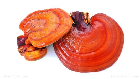 The combined extracts of the reishi and Egyptian chlorella vulgaris shown to have potent antioxidant and anti-inflammatory properties