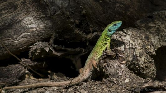 Researchers look at how some tropical tree-hugging lizards are able to survive severe wind storms