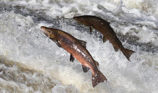 Here's why wild-caught is better than farm-raised salmon: It has a more diverse nutritional profile