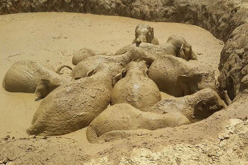 Eleven Asian elephants saved from death in mud hole by grabbing ropes and cooperating with humans