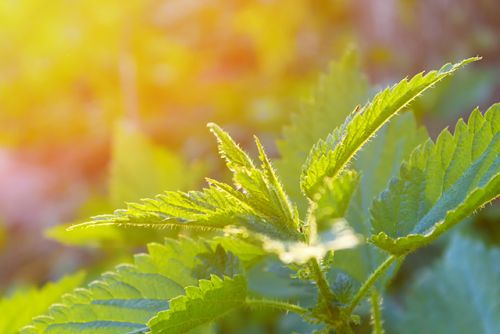 Botanical study concludes the antioxidant potential of small nettle