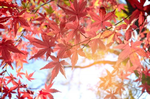 Maple leaf extract may prevent wrinkles, research suggests