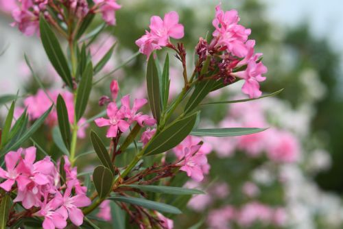 Supplement industry quick to warn consumers about Trump's enthusiasm for oleander as COVID-19 cure