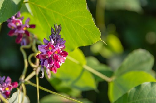 Kudzu flower and mandarin peel may reduce menopause symptoms, says RCT