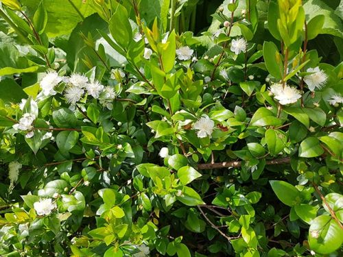 From treating gastric ulcers to reducing skin diseases, myrtle is a potent natural healing plant