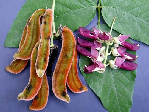 Experimental study finds the velvet bean to be a promising natural treatment for depression