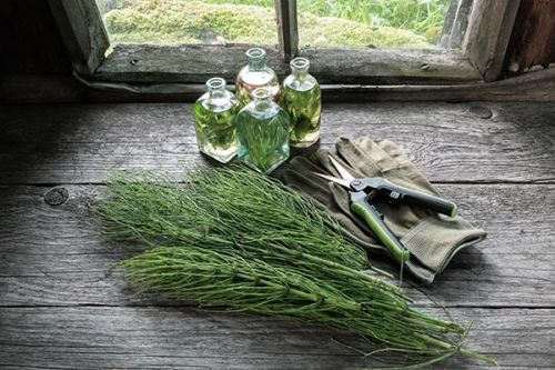 Herbs and bone health: Is horsetail an effective natural remedy for osteoporosis?