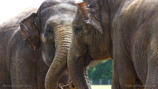 """A nose for numbers: Elephants can """"count"""" food using their sense of smell, study says"""