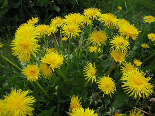 Plants that many consider to be weeds are actually powerful medicinal herbs