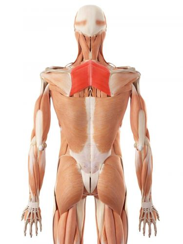 Rounded Shoulders? It's Probably Weakness in These Two Muscles