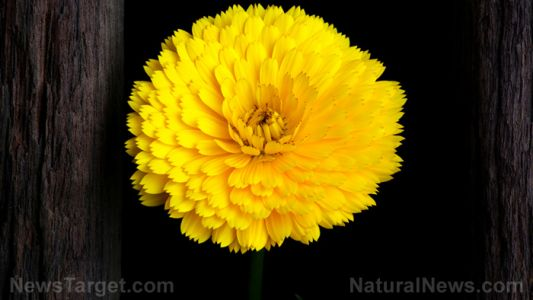 Make your own calendula extract: Step by step instructions for this multipurpose medicine