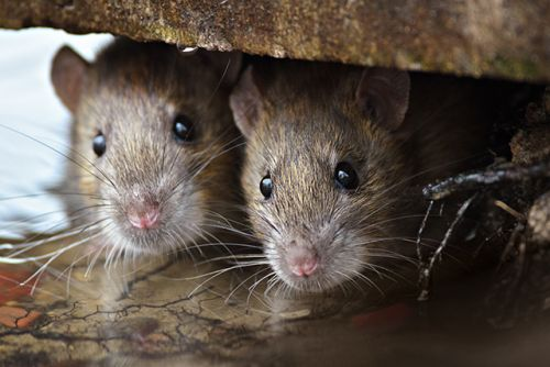Scientists study the unique reproductive system of the African pouched rat, a clever animal used to detect land mines and tuberculosis