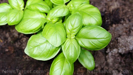Basil is a healthy, minty treat - especially for those looking to cut back on their cholesterol levels
