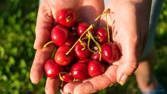 Eating cherries can help prevent gout