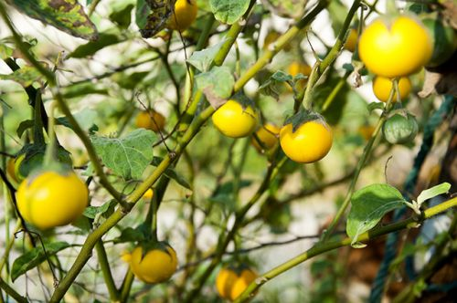 The humble sodaapple nightshade could be a great alternative cancer remedy