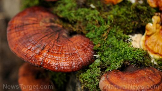 Reishi mushroom show tremendous promise in strengthening the immune system