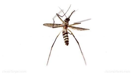 GMO mosquitos being released in Florida Keys despite concerns by scientists and residents