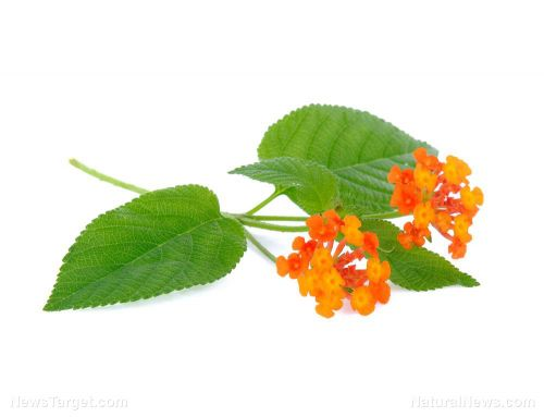 Essential oil from lantana can keep fungi and Alzheimer's disease at bay