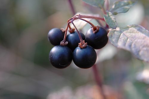 Solanum nigrum inhibits tumor growth proliferation