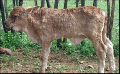 EU vaccination of cattle for lumpy skin disease has worked
