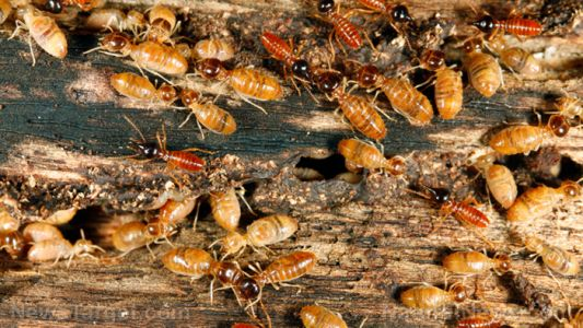 Beneficial pests? Study shows that termites can alleviate the damage that droughts cause in tropical rainforests