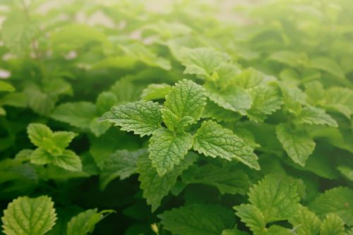 Spearmint may boost sleeping ability, short-term memory among older adults, new study suggests