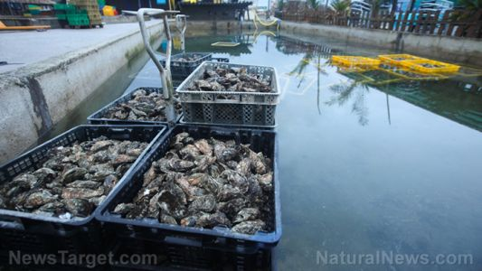 Oysters found to help restore balance to aquatic ecosystems by removing pollution