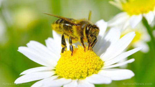 7 Essential oils to use for bee stings