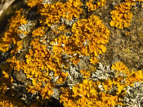 Study: Three common lichen-forming fungi dramatically reduce the risk of breast and cervical cancer
