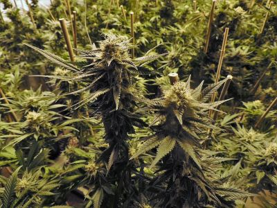 California's hemp farms producing massive tonnage of toxic chemical runoff, polluting thousands of acres of land