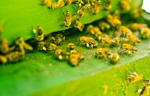 Apitherapy: Natural practitioner uses bee venom to heal patients without drugs or surgery