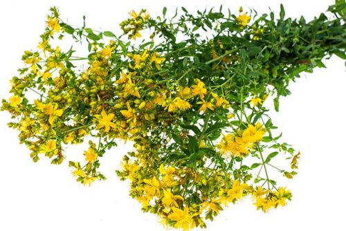 The common St. Paul's wort is a powerful natural cure for gout