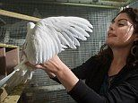 Tracking pigeons could help us fight disease