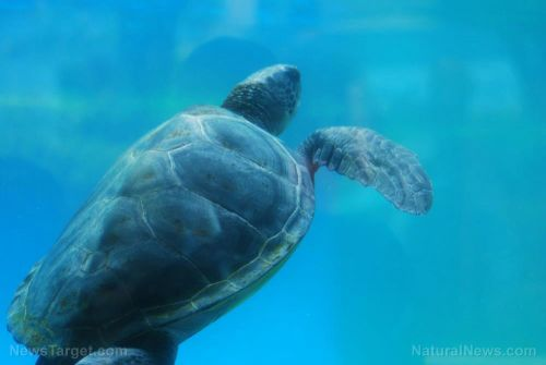 The culprit behind coastal sea turtle die-offs in Australia finally identified: Heavy metals