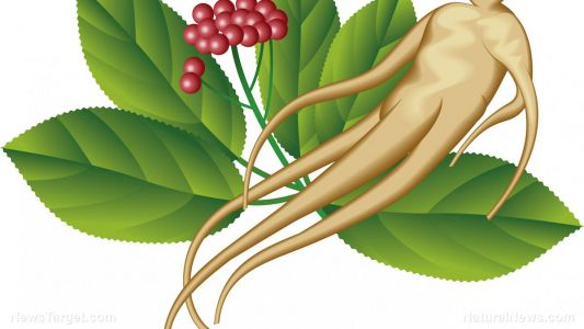 A natural treatment for colitis: Red ginseng powder fermented with probiotics