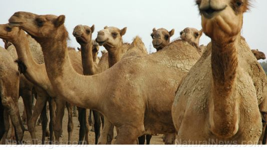 Camel's milk found to reduce the risk of cardiovascular disease from hypertension