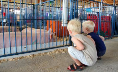 Steer clear of fair foibles - pun intended; pigs problematic, too