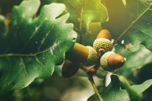 Prebiotics from acorn & sago show metabolic benefits, boost gut integrity for obese subjects
