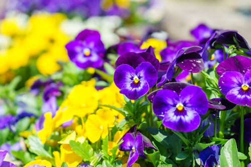 Decorate your plate: 10 Beautiful and edible flowers that offer many health benefits